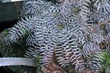 Phyllanthus niruri subsp. lathyroides