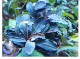 bucephalandra hades dark