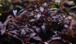 bucephalandra brownie ghost