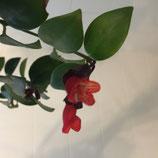 Aeschynanthus robin