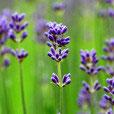 Bulgarian Lavender Flavor Oil