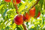 Georgia Peach Sweetened Flavor Oil