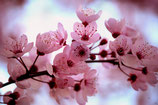 Japanese Cherry Blossom(BBW Type) Fragrance Oil