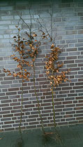 Rotbuche / Wurzelware 120 - 150cm