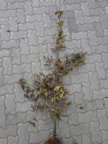 Hainbuche / Wurzelware 80 - 120cm