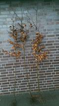 Hainbuche / Wurzelware 150 - 200cm
