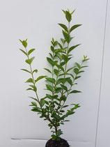 Liguster / Wurzelware  ovali. 50 - 80cm / 4 Pflanzen pro Meter