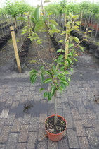 "1st.  Pflaumenbaum  im Topf ""Prunus domestica Königin Viktoria"""