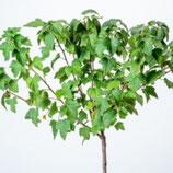 1 st. Johannisbeere Hochstamm 90cm weisse Früchte
