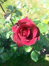 Rose rote - Blüte