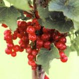 1 st. Johannisbeere Hochstamm 90cm rote Früchte