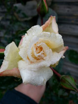 Rose rahmweiß - Bernstein