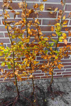Rotbuche / Wurzelware 80 - 120cm