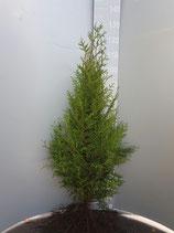 Thuja Brabant wurzelware 40 - 60cm ohne Wurzel gemessen