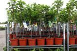 """1st.  Kirschbaum  im Topf """"Prunus avium Große Knorpelkirsche"""""""