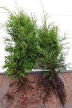 Lebensbaum / Wurzelware 30 - 60cm