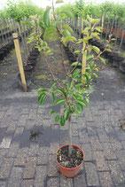 """1st.  Pflaumenbaum  im Topf """"Prunus domestica Hauszwetsche"""""""