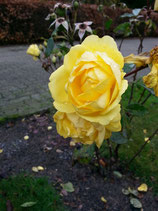 Rose gelbe - Blüte