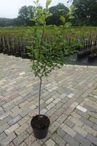 """1st.  Mirabellenbaum  im Topf """"Prunus demestica Von Nancy"""""""