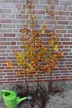 Rotbuche / Wurzelware 80 - 100cm