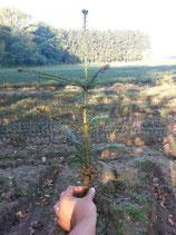 Weisstanne 2+2 / Wurzelware 20 - 40cm