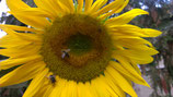 Sonnenblumen, je Portion