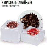 Kanadische Tauwürmer, 1x Box a 12Stk,