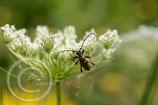 Honigpflanzenmischung (mehrjährig)