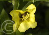 Fledermausmsichung 100% Blumen (ohne Gräser)