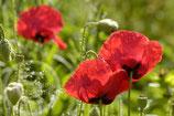 Feldblumenmischung 100% Blumen