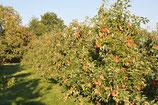 Backäpfel