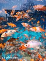 Rarität - Schuppenloser Goldfisch  (Carassius gibelio forma auratus) - Doitsu Harlekin