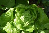 Kopfsalat Maikönig 6 Stück