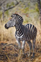 Zebra with burned grass