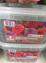 BULBES DAHLIA FRUITS ROUGES SEAU X 4