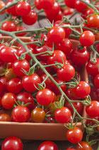 PLANT TOMATE CERISE X 1 GODET