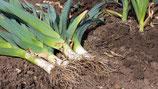 PLANTS POIREAUX X 50