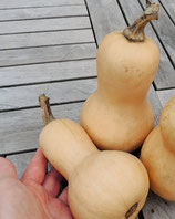 Kürbis Mini-Butternut