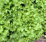 Pflücksalat / Eichblattsalat White Salad Bowl