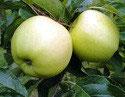 Bio-Äpfel Luna (süß)