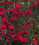 Dianthus deltoides 'Leuchtfunk'