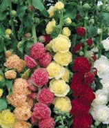 Alcea 'Chater's'