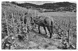 La vigne et le vin #15