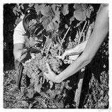 La vigne et le vin #4