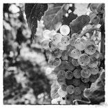 La vigne et le vin #5
