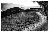La vigne et le vin #19