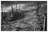 La vigne et le vin #18