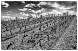 La vigne et le vin #11