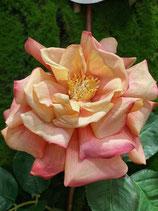 EDG Rosa duchessa