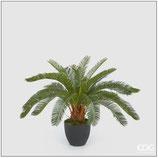 Edg Pianta Palma Cycas H.72